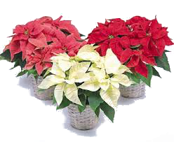 poinsettias 4